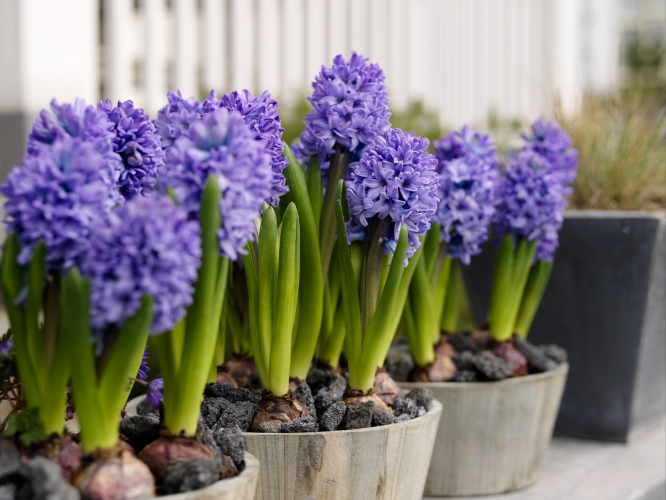 Nature___Flowers_Hyacinth_flowers_at_home_065854_.jpg