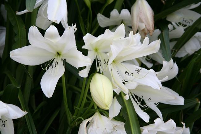 1-Fleur-de-lys-Grand--.jpg