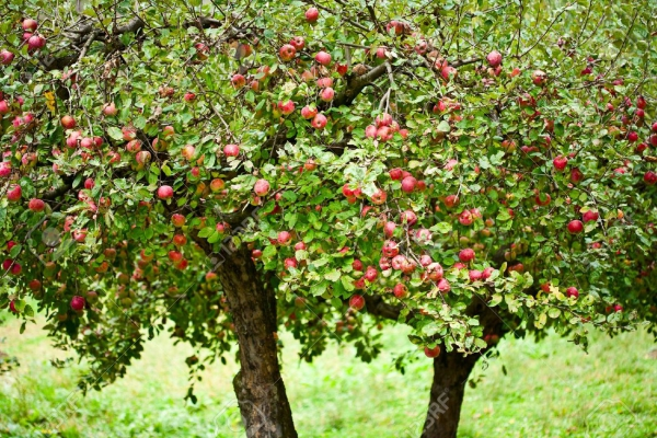 7999345-Apple-trees-in-an-orchard-with-red-apples-ready-for-harvest-Stock-Photo.jpg