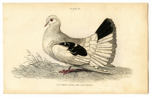 cc096-whitebird-graphicsfairy005sm