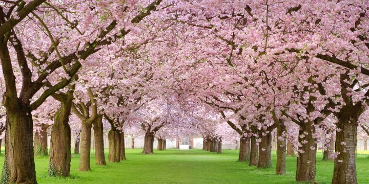 cherry-blossoms-trivia-facts-1519937792