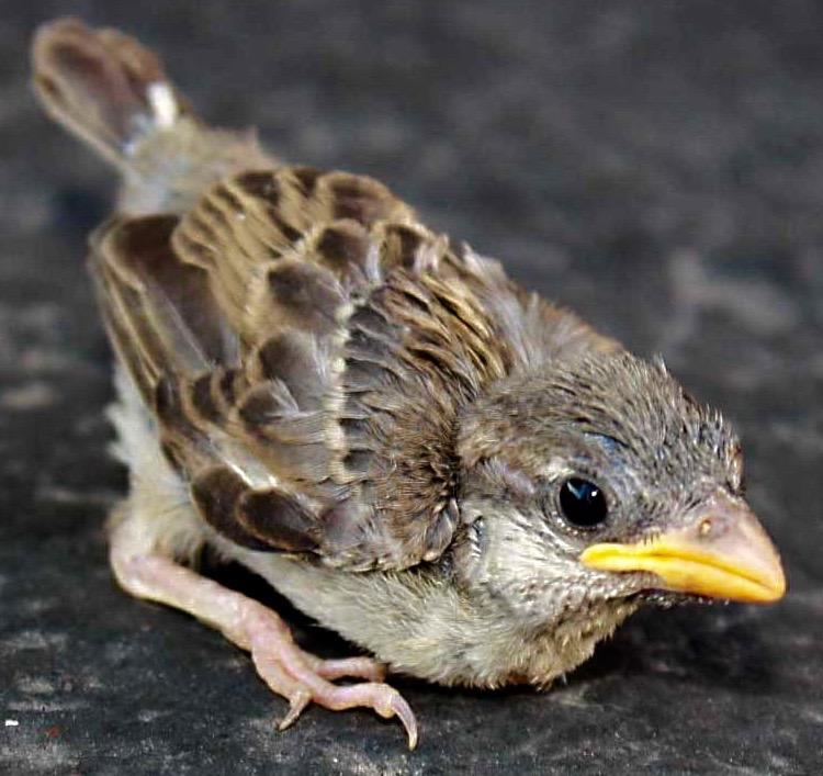 sparrowfledgling2012 (1)