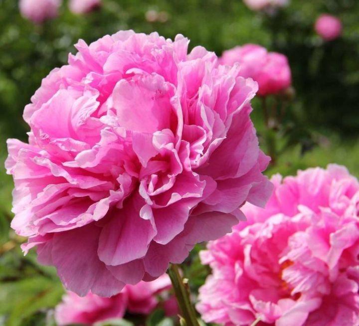 paeonia_lactiflora_dr_alexander_fleming_roze_pioenroos_rosa_pfingstrose_pink_peony