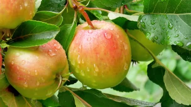 depositphotos_236072546-stock-video-apples-with-water-drops-on